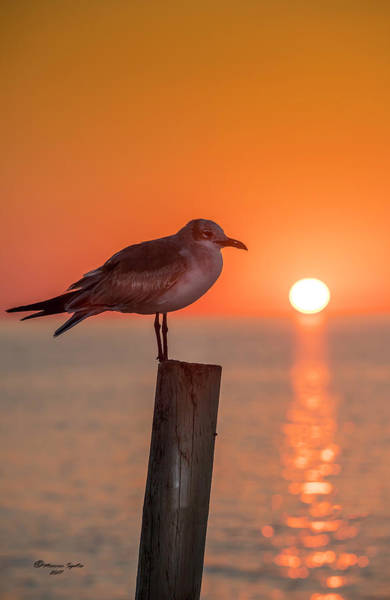 White Fence Photograph - Gull And Sunset by Marvin Spates
