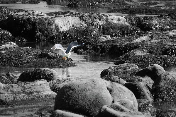 Photograph - Gull Crab by Dylan Punke