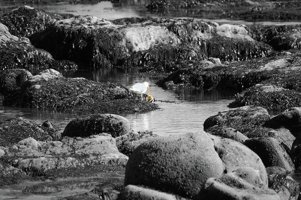 Photograph - Gull Crab II by Dylan Punke