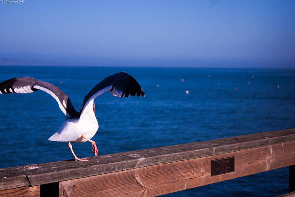 Photograph - Gull Dance by Lora Lee Chapman