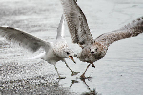 Photograph - Gull Dispute by William Selander