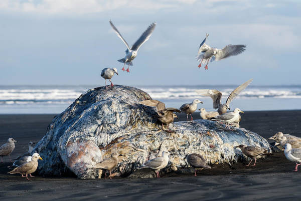 Photograph - Gull Feast by Robert Potts