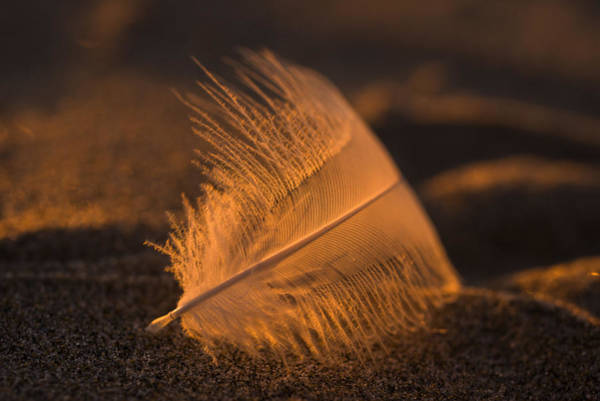 Gull Feather At Sunset Art Print