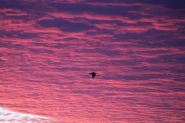 Photograph - Gull Flies Under Purple Clouds by Robert Banach
