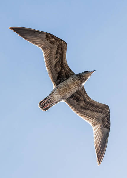 Photograph - Gull Flite by Robert Potts