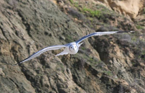 Photograph - Gull In Flight - 3 by Christy Pooschke