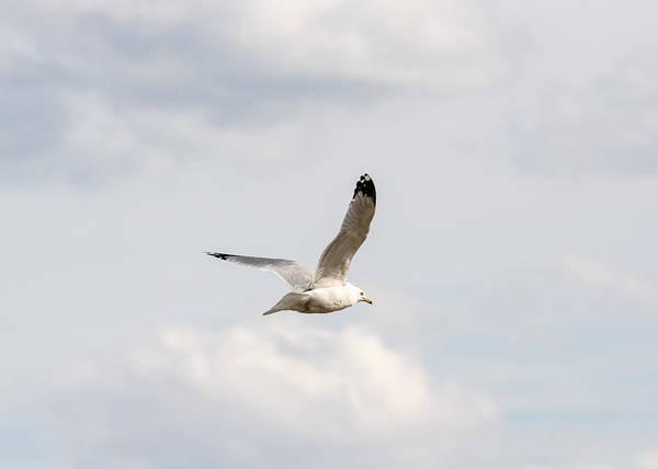 Wall Art - Photograph - Gull In Flight by Jan M Holden