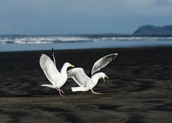 Photograph - Gulls In Love by Robert Potts