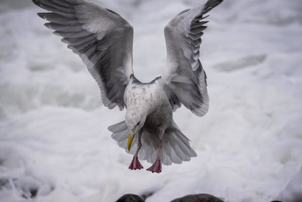 Photograph - Gull Landing by Robert Potts
