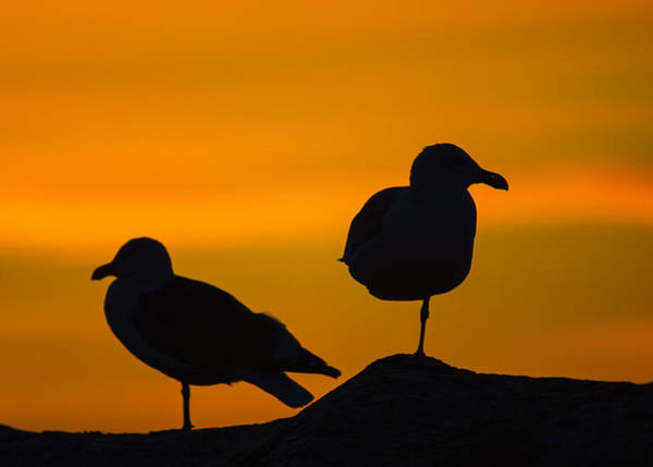 Photograph - Gull Sunset Silhouettes by Robert Potts