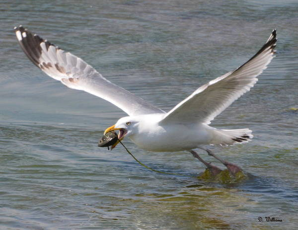 Photograph - Gull With A Clam by Dan Williams