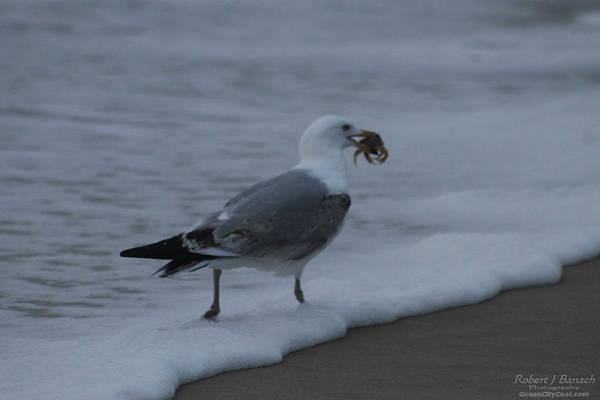 Photograph - Gull's Breakfast by Robert Banach