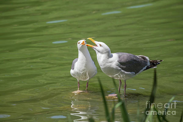 Photograph - Gulls Courting by Kate Brown