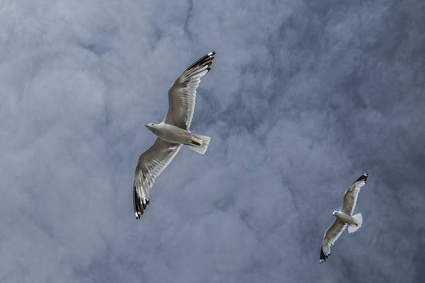 Photograph - Gulls Flying High In The Cloudy Blue Sky by Randall Nyhof