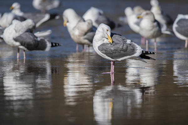 Photograph - Gulls Reflect by Robert Potts