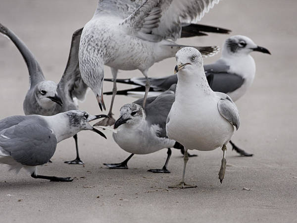 Photograph - Gulls Sqabble by Charles McKelroy
