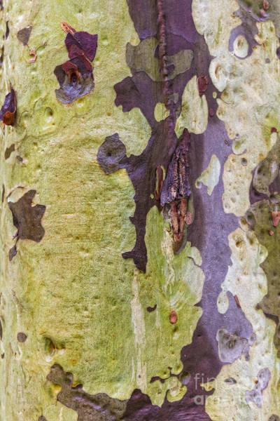 Photograph - Gum Tree Detail by Elaine Teague