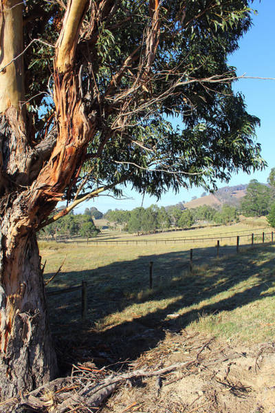 Photograph - Gum Tree Yarra Glen 29-03-2015 by Bert Ernie