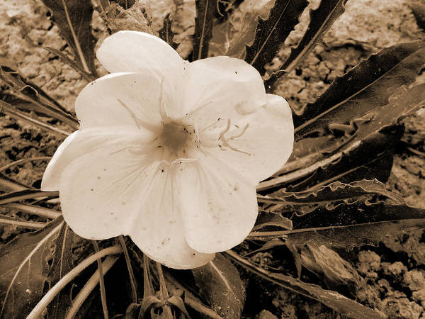 Photograph - Gumbo Lily Blossom by Cris Fulton
