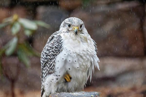 Photograph - Gyrfalcon A Bird Of Prey Sitting In The Rain by Dan Friend