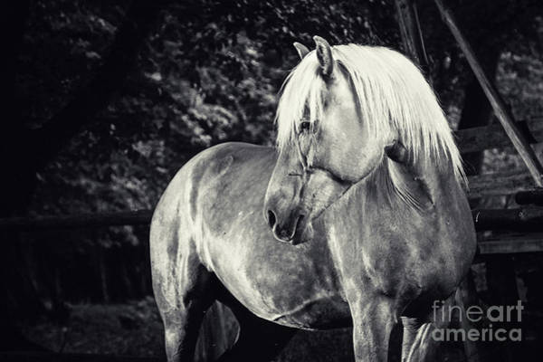 Photograph - Haflinger Horse Equestrian Black And White Portrait by Dimitar Hristov