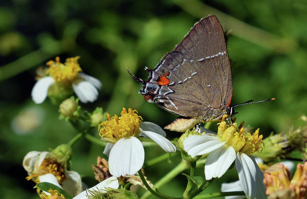 Photograph - Hairstreak Butterfly by Larah McElroy