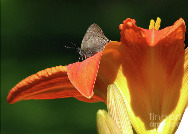 Tigerlily Wall Art - Photograph - Hairstreak Upon The Liliy by Deborah Johnson