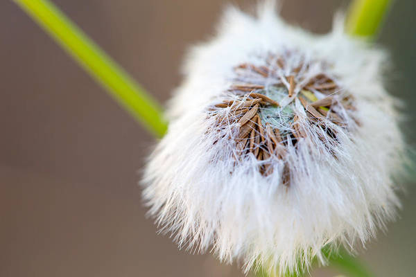 Photograph - Hairy Seed Pod by SR Green