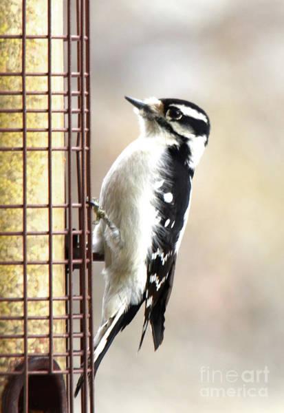 Photograph - Hairy Woodpecker by Cindy Schneider