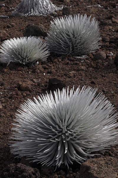 Photograph - Haleakala Silverswords by Kenneth Campbell