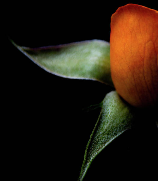 Photograph - Half Of A Rose by Julie Palencia