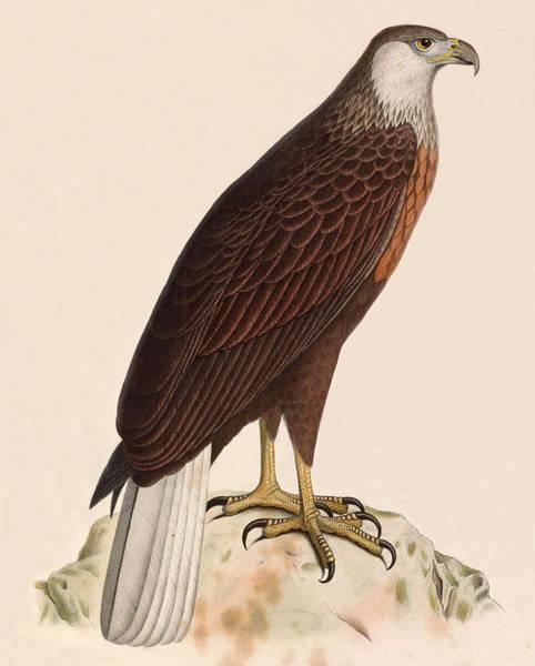 Wall Art - Drawing - Haliaeetus Vociferoides by Paul Odart
