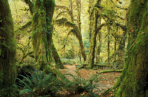 Olympic Club Photograph - Hall Of Mosses Trail by Greg Vaughn - Printscapes