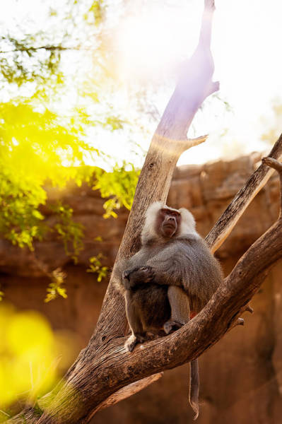 Baboons Photograph - Hamadryas Baboon In Tree With Sun Flare by Susan Schmitz