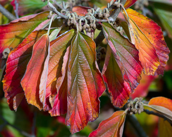 Photograph - Hamamelis Leaves In Autumn by Pete Hemington