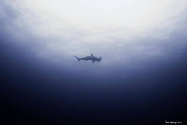 Hammer Head Shark Wall Art - Photograph - Hammer Above by Tom Montgomery