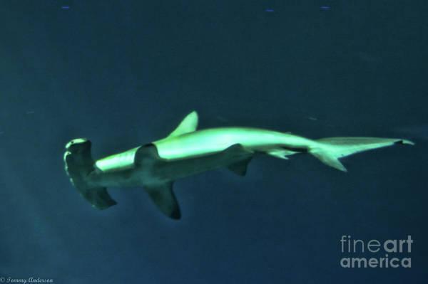 Hammer Head Shark Wall Art - Photograph - Hammer Head Shark by Tommy Anderson