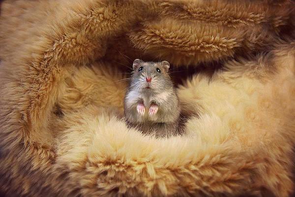 Golden Hamster Photograph - Hamster In Wool  by Dawn Marie Lemke