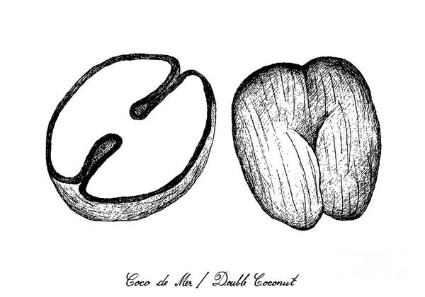 Coco Drawing - Hand Drawn Of Coco De Mer Or Double Coconut Fruits by Iam Nee