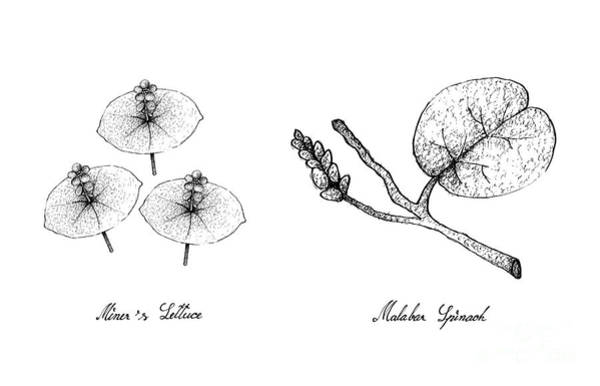 Indian Corn Drawing - Hand Drawn Of Miner's Lettuce And Malabar Spinach by Iam Nee