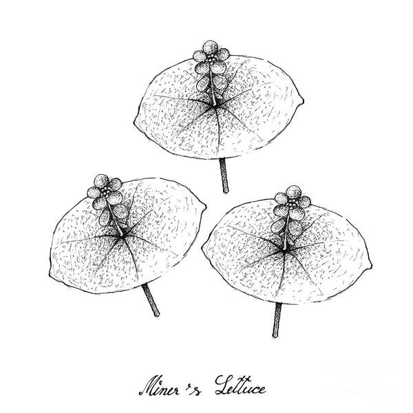 Indian Corn Drawing - Hand Drawn Of Miner's Lettuce On White Background by Iam Nee
