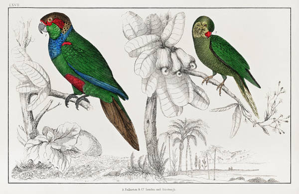 Green Parrot Drawing - Handcolored Tableau Of Two Parakeets by Oliver Goldsmith