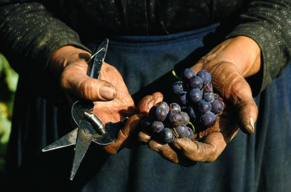 Czechoslovakia Photograph - Hands Holding Muscatel Grapes by James P. Blair