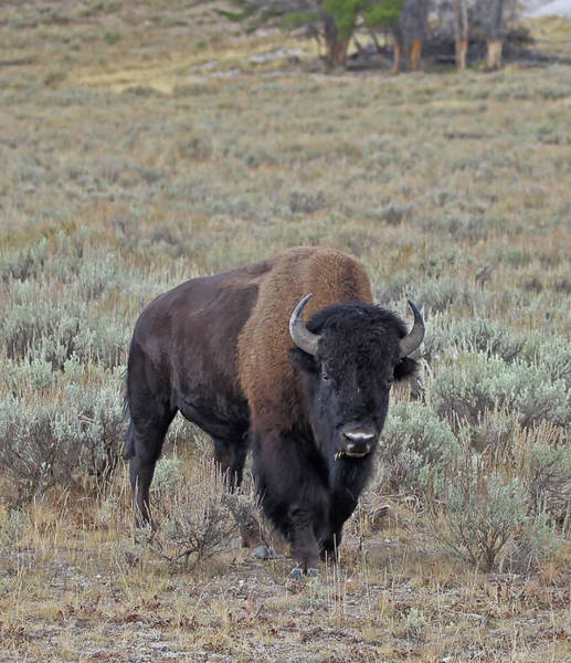 Photograph - Handsome Bison Bull by Jean Clark