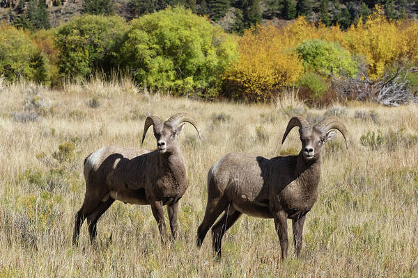 Wall Art - Photograph - Handsome Rams by Kathleen Bishop