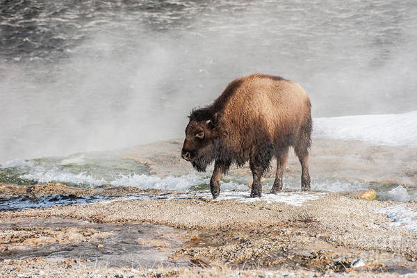 Photograph - Handsome Young Bison by Sue Smith