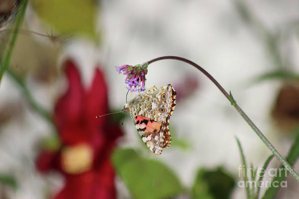 Photograph - Hang On Painted Lady  by Karen Adams