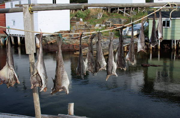 Photograph - Hanging Fish To Dry In Salvage Newfoundland by Tatiana Travelways