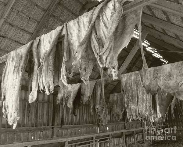 Cowhide Wall Art - Photograph - Hanging Hides by Barbie Corbett-Newmin