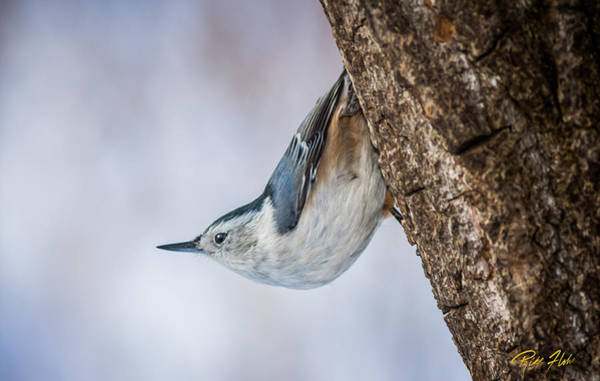 Photograph - Hanging Nuthatch by Rikk Flohr